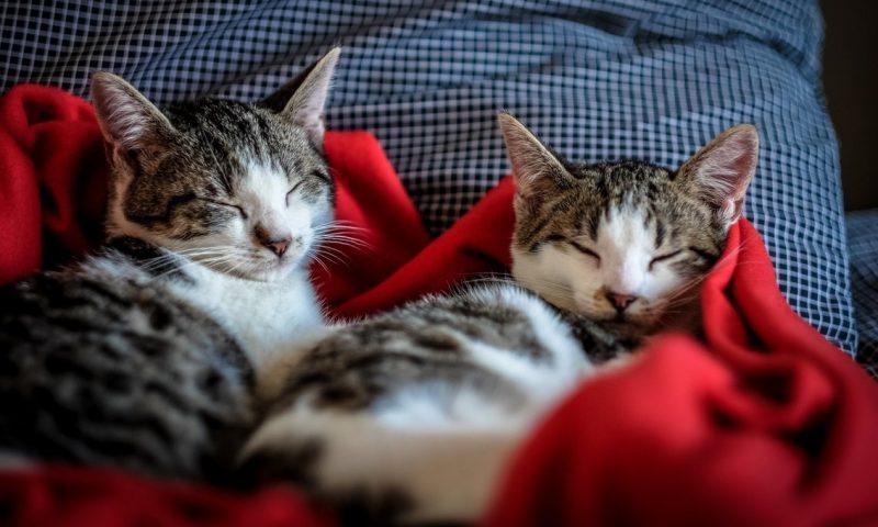 Как спят кошки.